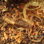 Parabuthus pallidus instar III