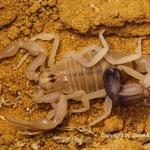 Androctonus australis australis frisch gehäutet instar V