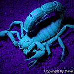 Parabuthus villosus black morph