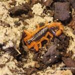Uroplectes fischeri instar III