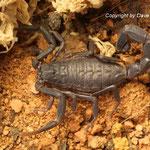 Androctonus mauritanicus instar IV