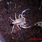 Tityus trivittatus instar IV