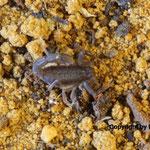 Parabuthus transvaalicus instar II