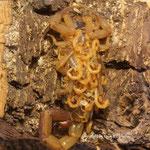 Uroplectes vittatus mit instar II Nachwuchs