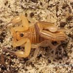 Rhopalurus garridoi instar V