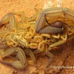 Centruroides elegans mit Nachzuchten instar II