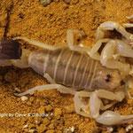 Androctonus australis libycus 0.1 instar VII