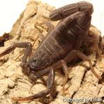 Rhopalurus pintoi instar V