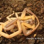 Lychas scutilus 1.0 instar VI frisch gehäutet