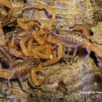 Grosphus ankarana instar II