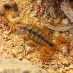 Uroplectes otjimbinguensis instar IV