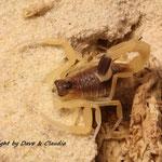Leiurus haenggi instar IV