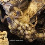 Lychas mucronatus mit instar I Nachzuchten