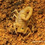 Parabuthus planicauda instar II