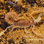 Parabuthus capensis instar V