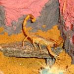 Leiurus quinquestriatus