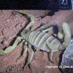 Hadrurus arizonensis pallidus