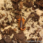 Uroplectes fischeri instar II
