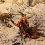 Uroplectes fischeri instar IV
