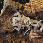 Tityus crassicauda instar III