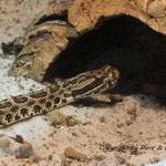 Sistrurus catenatus tergeminus 0.1