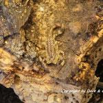 Isometrus maculatus instar II