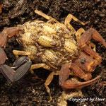 Tityus bastosi mit Nachzuchten instar I