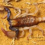 Opistophthalmus karooensis instar IV