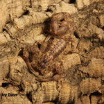 Tityus gaffini instar IV