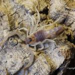 Parabuthus raudus dark morph instar II