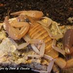 Rhopalurus junceus 0.1 instar VII