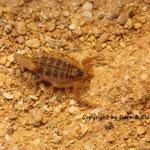 Buthus draa instar IV