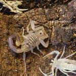 Rhopalurus bonetti instar IV