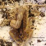 Hottentotta trilineatus