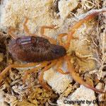 Parabuthus villosus orange morph