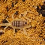 Leiurus brachicentrus instar IV