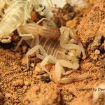 Androctonus australis hector morph instar IV