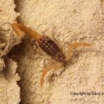 Mesobuthus gibbosus instar III