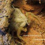 Parabuthus raudus dark morph mit Nachzuchten im instar I