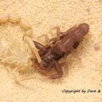 Parabuthus transvaalicus instar IV nach Häutung