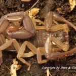 Centruroides edwardsii instar VI