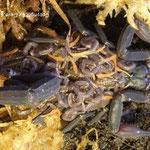 Centruroides gracilis dark morph mit instar II Nachwuchs