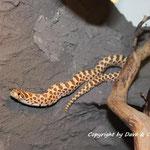 Heterodon nasicus