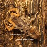 Lychas tricarinatus i V