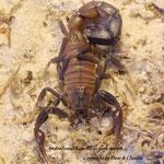Androctonus baluchicus dark morph 1.0