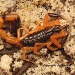 Uroplectes fischeri instar VI