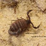 Buthus maroccanus instar II