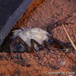 Parabuthus transvaalicus mit Nachzuchten