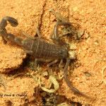 Androctonus spec. instar II