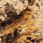 Leiurus hebraeus instar III